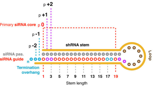 Core placement and the surrounding nucleotides. The shRNAs in this study were built around a designed 19 nucleotide siRNA core. We positioned the core at the base terminus of the shRNA (the open end), and extended the stem as necessary at the loop terminus (to 20 or 21 bp). The lower strand, or anti-sense strand region, was designed to be the intended siRNA guide strand which was therefore complementary to the target. Our shRNAs were designed so that the position of the first nucleotide of the primary core (p0) corresponds with the first base pair at the base terminus. The positions of the first and last nucleotides of the flanking p-2, p-1, p+1 and p+2 positions in the expected guide strand are shown (- positions in blue, + positions in purple). We considered the sequence of these flanking bases when selecting targets and estimating core conservations as it is presently unclear if these positions are incorporated in the processed siRNA product(s). The example shown is for a 20 bp stem, so that the last nucleotide of the p+2 position is also the last nucleotide of the loop. Likewise, shRNAs with 21 bp stems, the last nucleotide of the p+2 position is the last nucleotide of the stem.