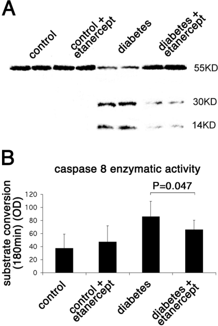 Caspase 8 enzymatic activity in rat retinas. A: The level of protein expression of caspase 8 in the rat retina was evaluated by western blotting. Diabetes increased the cleaved form of caspase 8 (activated form), whereas treatment with etanercept reduced the diabetes-induced cleavage of caspase 8. B: The enzymatic activity of caspase 8 in the rat retina was evaluated by a colorimetric analysis. Diabetes increased the activity of caspase 8 as measured by the conversion of its specific substrate. Treatment with etanercept reduced the diabetes-induced caspase 8 activation and therefore the conversion of its substrate and correlates with the reduction in the cleaved form of the caspase as measured by the western blot shown.