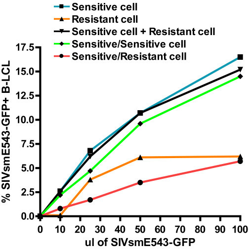 Fusion of SIV resistant and susceptible rhesus monkey B-LCLs demonstrates a dominant SIV resistance phenotype. SIV susceptible and resistant B-LCLs were labeled with either Vybrant DID (Invitrogen) or Oregon Green (Invitrogen). Susceptible and resistant cell lines were fused using PEG incubation and double positive fusion events were sorted by flow cytometry. Fused cells were subsequently infected with SIVsmE543-GFP and quantified for % GFP+ by flow cytometry.