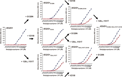Effect of HA mutations in sublineage BII viruses on receptor specificity of EG/D1 HA.The mutations found in sublineage BΙΙ viral HAs were introduced as single and multiple mutations into the HA of EG/D1 virus. Direct binding to sialylglycopolymers containing either α2,3-linked (blue) or α2,6-linked (red) sialic acid was measured. Mutations are indicated by subscripts. Each data point is the mean ± SD of triplicate experiments.