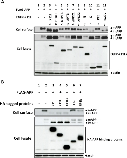 Cell surface expression of imAPP induced by X11L mutant proteins.(A) Effect of X11L mutant proteins. N2a cells (∼2×105) were transiently transfected with pcDNA3-FLAG-APP (0.8 µg) in the presence of various cDNA plasmids encoding EGFP-X11L proteins (a: 0.18 µg, b: 0.6 µg, c: 0.6 µg, d: 0.06 µg, e: 0.36 µg, f: 0.18 µg, g: 0.08 µg, h: 0.15 µg, i: 0.6 µg, and j: 0.54 µg). To standardize the plasmid amount, empty vector was added to yield 1.4 µg of plasmid in total. Cells were labeled with sulfo-NHS-LC-biotin and NeutrAvidin was used to collect the biotinylated proteins. The cell lysates and biotinylated proteins (Cell surface) were analyzed by immunoblotting with an anti-FLAG antibody to detect APP, an anti-EGFP antibody to detect X11L proteins, and an anti-actin antibody to detect actin. Lanes a to j correspond to the constructs described in Figure 1A. (B) Specificity of X11s function. N2a cells (∼2×105) were transiently cotransfected with pcDNA3-FLAG-APP695 (0.6 µg) and 0.2 µg of the following plasmids: pcDNA3.1-HA-X11 (lane 3), pcDNA3.1-HA-X11L (lane 4), pcDNA3.1-HA-X11L2 (lane 5), pcDNA3.1-HA-FE65 (lane 6), or pcDNA3.1-HA-JIP1b (lane 7). Cells were labeled with sulfo-NHS-LC-biotin and NeutrAvidin was used to collect biotinylated proteins. The cell lysate and biotinylated proteins (Cell surface) were analyzed by immunoblotting with an anti-FLAG antibody to detect APP, an anti-HA antibody to detect HA-binding proteins, and an anti-actin antibody to detect actin.