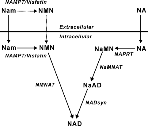 Metabolic pathways of the salvage NAD synthesis.NaAD, N