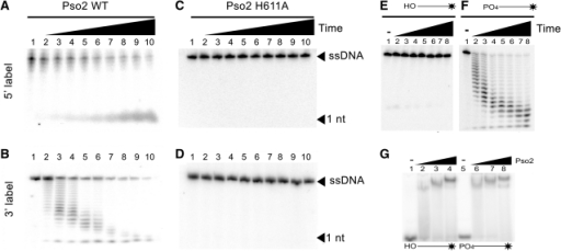 Pso2 possesses 5′ but not 3′-exonuclease activity and requires a 5′-phosphate for nucleotide removal. Pso2 (80 nM) was incubated with ssDNA (100 nM) labelled at the 5′ (A) or 3′-end (B). Purified pso2 H611A, a catalytic mutant (1 μM) was assayed with ssDNA (100 nM) labelled at the 5′ (C) or 3′-end (D). Lane 1 in each panel contains no Pso2. Reactions in lanes 2–10 were carried out for increasing time intervals: 0.25, 0.5, 0.75, 1, 2, 4, 8, 16 and 32 min, respectively. In panel (E) Pso2 (1.5 μM) was assayed using 3′-labelled 20 nt ssDNA (200 nM) containing a 5′-hydroxyl. Lane 1 is a negative control in the absence of Pso2. Reactions in lanes 2–8 were incubated for 0.5, 1, 2, 3, 4, 8 and 16 min, respectively. Panel (F) is identical to panel (E) except substrate used contains a 5′-phosphate. (G) EMSA reactions using increasing amounts of Pso2 were incubated with a 3′-labelled 12 nt single-stranded DNA substrate (100 nM) containing a phosphorothioate substitution between the first and second nucleotide as well as either a 5′-phosphate or a 5′-hydroxyl. Lane 1 and 5, no Pso2 added; lanes 2–4 contain 5′-hydroxyl substrate with final Pso2 concentrations of 50, 100 and 200 nM, respectively. Lanes 6–8, 5′-hydroxyl substrate with final Pso2 concentrations of 50, 100 and 200 nM, respectively.