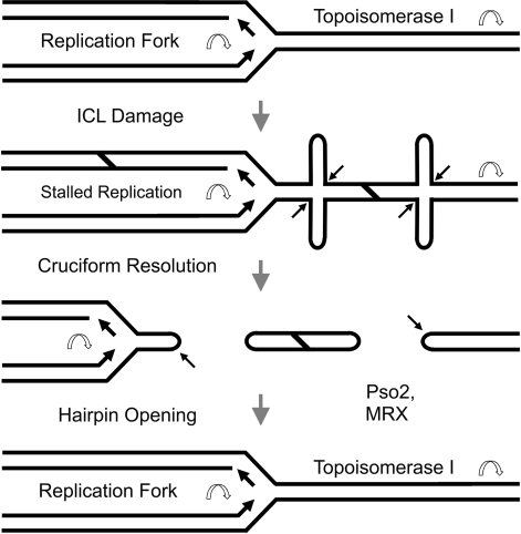 Model for generation and repair of hairpins during ICL damage. As the replication fork moves toward an ICL lesion helicase causes cruciform extrusion between the fork and ICL. Topoisomerase I activity ahead of the ICL also may create cruciform structures. Cruciform structures are resolved into hairpin capped DSBs (3, Cote and Lewis, 2008). Pso2 and/or the MRX/Sae2 complex process hairpin structures for subsequent end-joining repair.