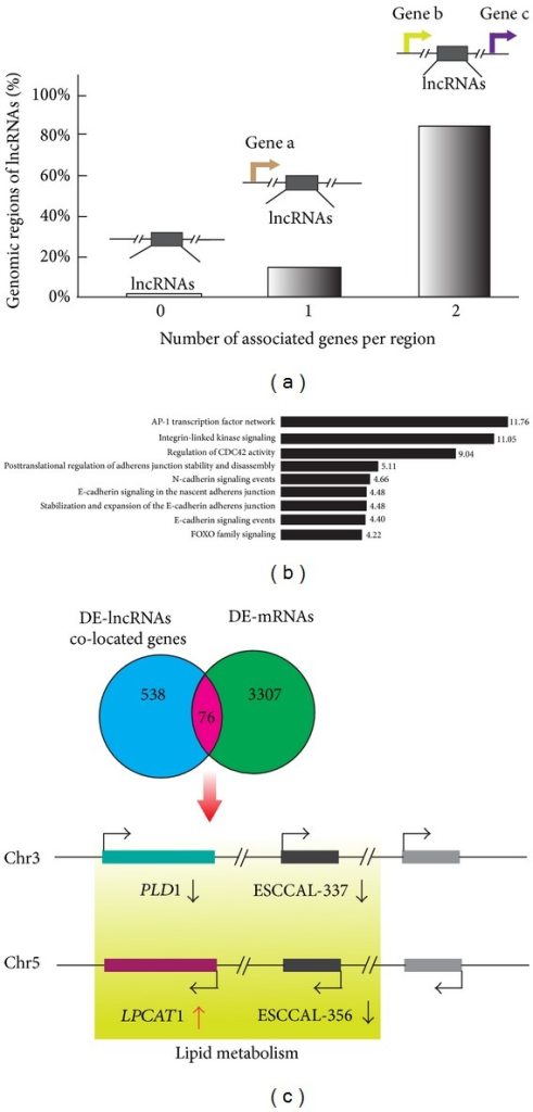 Identification of lncRNAs co-located and co-expressed neighboring genes in esophageal squamous cell carcinoma (ESCC). (a) Identification of neighboring genes of the DE-lncRNAs. The genomic coordinate information of 410 DE-lncRNAs was used to search neighboring genes whose genomic locations are within ~5 kb upstream and ~1 kb downstream of the lncRNA and may extend to 1000 kb in both directions using GREAT software (http://bejerano.stanford.edu/great/public/html/index.php). The percentage of DE-lncRNAs harboring zero, one, or two neighboring genes is presented. (b) Gene Ontology (GO) enrichment analysis of lncRNAs co-located genes. Identified gene enriched pathways/terms are listed on the left; the length of horizontal bars and the numbers on the right indicate the percentage of genes involved in each pathway/term. (c) LncRNAs co-located and co-expressed coding mRNAs. Overlap of 538 DE-lncRNA co-located genes with 3307 DE-mRNAs in microarrays identified 76 lncRNAs co-located and co-expressed coding mRNAs (list in Table 2). GO enrichment analysis suggests phospholipase D1 (PLD1) and lysophosphatidylcholine acyltransferase1 (LPCAT1) are involved in ether lipid metabolism pathway. Genomic location shows that PLD1 is located at −22,068 bp upstream of ESCCAL-337 lncRNA on Chr 3 and LPCAT1 is at −21,250 bp upstream of ESCCAL-356 lncRNA on Chr 5.