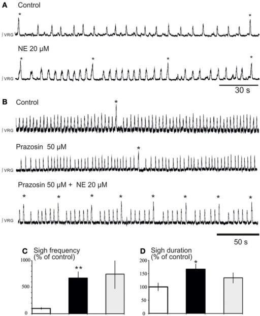 "Blockade of α1-NR does not abolish the noradrenergic modulation of fictive sigh activity. (A) Application of NE 20 μM increases the frequency of ""fictive eupneic"" respiratory activity as well as the sigh activity compared to control. (B) Blockade of α1-NR(prazosin 50 μM) abolishes the NE-induced increase in frequency of the fictive eupneic activity but not the increased in frequency of the sigh activity. (C,D) Histograms show the effects of NE + prazosin on sigh burst frequency (C) and the sigh burst duration (D) (*p < 0.05, n = 4; **p < 0.01)."