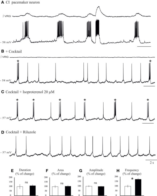 Isoproterenol increases the burst frequency of INap pacemaker neurons. (A) Recording of an inspiratory pacemaker neuron that bursts during fictive sigh activity. (B) This neuron continues to burst in synaptic blockade (cocktail). (C) Application of isoproterenol 20 μM increases the burst frequency of INap pacemaker neuron. (D) Application of riluzole 20 μM abolishes the bursting properties of this neuron, but the neuron continues to generate action potentials. Histograms summarize the effects of isoproterenol on burst duration (E), burst area (F), burst amplitude (G), and burst frequency (H). Note only burst frequency was significantly affected (ns: not significant, *p < 0.05, n = 6).