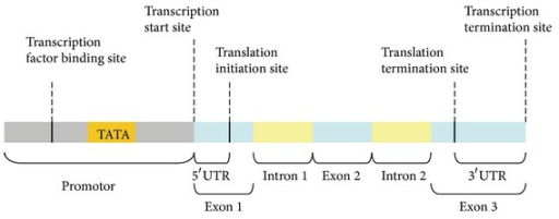 The promoter of a DNA sequence containing a transcription factor binding site and a TATA box is immediately upstream to a transcription start site.