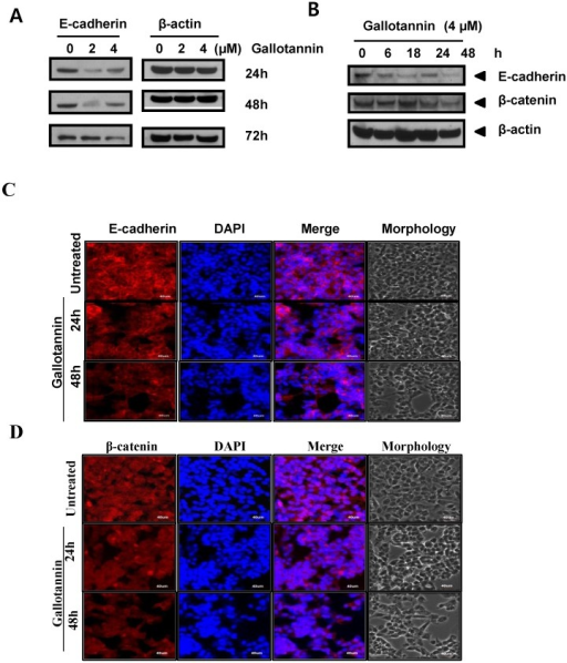 Gallotannin attenuated the expression of E-cadherin, and beta-catenin in Hep G2 cells. (A) Effect of gallotannin on E-cadherin in Hep G2 cells in a concentration (0, 2, 4 μM) and time dependent manner (24, 48 or 72 h) by Western blotting (B) Effect of gallotannin on E-cadherin and beta-catenin in Hep G2 cells in time courses (0, 6, 18, 24, 48 h) by Western blotting. Effect of gallotannin on E-cadherin (C) or β-catenin (D) localization in Hep G2 cells in Hep G2 cells by Immunofluorescence assay. Hep G2 cells in the absence or presence of gallotannin (4μM) were fixed and immunostained with α-E-cadherin antibody. Nuclei were stained with DAPI. Scale bar, 40 μm.