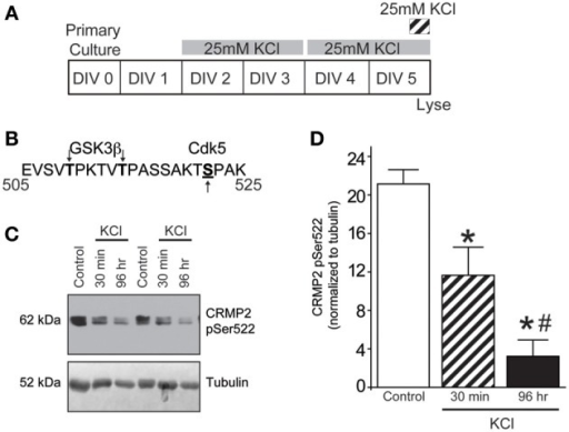 KCl-induced activity decreases Cdk5-phosphorylated CRMP2. (A) Timeline of experimental procedures. (B) Schematic of GSK3β and Cdk5 phosphorylation sites within the rat CRMP2 sequence. Numbers represent amino acid residues within the CRMP2 sequence. (C) Representative immunoblots of Cdk5-phosphorylated CRMP2 (CRMP2 pSer522) and β III-tubulin from naïve cortical neurons compared to those exposed to KCl for 30 min or 96 h. (D) KCl exposure lead to a time-dependent decrease in the level of Cdk5-phosphorylated CRMP2 (CRMP2 pSer522) (*p < 0.05 compared to control and #p < 0.05 compared to 30 min KCl treatment; One-Way ANOVA, Tukey's post-hoc analysis; n = 5).