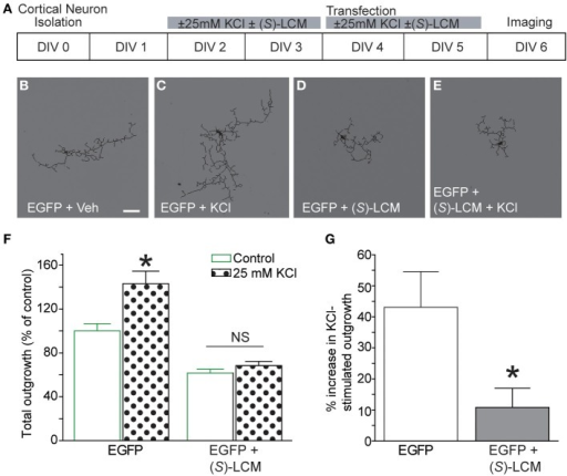 Targeting CRMP2 prevents activity-dependent increase in neurite outgrowth. (A) Timeline of experimental procedures. (B–E) Representative tracings of cortical neurons expressing EGFP and incubated for 96 h in vehicle, 25 mM KCl, 200 μM (S)-LCM, or 25 mM KCl + 200 μM (S)-LCM. (F) Total outgrowth of cortical neurons exposed to 25 mM KCl in the presence or absence of 200 μM (S)-LCM. (G) In naïve neurons, KCl exposure increased outgrowth by ~40% compared to vehicle. Co-application of (S)-LCM blunted the KCl-induced increase to ~10% (*p < 0.05 compared to control; Student's t-test) (n = 110–379 cells, across 8 separate culture wells) (scale bar = 50 μm).