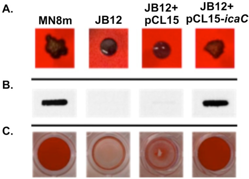 Effect of complementation of JB12 with icaC in trans on colony morphology, PNAG production, and biofilm formation.A. Colony morphology of labeled S. aureus strains on Congo red agar (CRA) plates. B. PNAG slot blot of cell surface fractions probed with polyclonal anti-PNAG antiserum (MN8m and JB12+pCL15-icaC samples were diluted 1∶100 prior to immobilization on membrane whereas JB12 and JB12+pCL15 were not diluted). C. Biofilms formed on microtiter plate wells were stained with safranin and the safranin was quantified by resuspending in acetic acid and measuring OD562 nm. Bars represent the mean OD562 nm of 6 replicates, and error bars indicate the standard deviations. Statistical comparison (unpaired t test) of JB12+pCL15 (empty vector) versus JB12+pCL15-icaC gave a P value of <0.001.