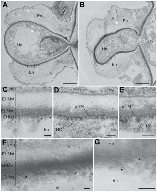 PDLP1 promotes membrane tubule formation at the extra-haustorial interface.Transmission electron micrographs of Hpa Waco9 haustoria observed in Col-0 (A) and PDLP1 OE (B) plants harvested 6 DPI. Boxes represent regions from which high magnification images (C, D, E, F) were taken. High magnification images of the host-pathogen interface in Col-0 (C–E) and PDLP1 OE (F) show that the EHMx and EHM forms an electron dense structure that has membrane invaginations (arrows) at the host surface. In regions in which the haustorium is encased the EHM is not continuously defined and may comprise the EHM and inner membrane of the encasement, thus this membrane is differentially denoted EHMs to allow for the possibility of multiple membrane layers. (F) Membrane invaginations are longer and more abundant in PDLP1 OE plants. (G) An oblique section of the surface of an haustorium in a PDLP1 OE cell illustrates the density and length of these protrusions. Ha, haustorium; En, encasement; EHMxt, extrahaustorial matrix translucent; EHMxd, extrahaustorial matrix dense. Scale bars are 2 µm (A and B), 100 nm (C–F) and 500 nm (E).