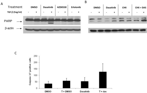 Induction of apoptosis after treatment with TGFβ-1 and dasatinib.(A) A549 cells were treated with 100 nM of dasatinib, 1000 nM of AZD0530, or erlotinib with or without 5 ng/mL TGFβ-1 for 48 hours. (B) A549 cells were pre-treated with 10 µg/mL cycloheximide (CHX) for 1 hour, followed by TGFβ-1 plus or minus dasatinib. After incubation, cells were harvested, lysed, and PARP cleavage detected by Western Blot analysis. (C) A549 cells were seeded in 96-well plates at 5×103 per well. Cells were treated, and Cell Player 96-Well Kinetic Caspase 3/7 Reagent was added simultaneously. Treatments were done in triplicate. Values are shown as the average number of caspase 3/7 positive cells from 3 independent experiments.