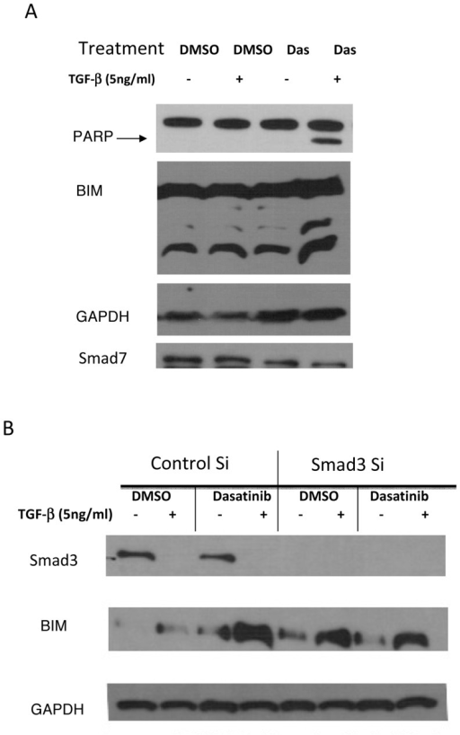 Increase in BIM after combination treatment mediated by Smad3.(A) A549 cells were treated with DMSO, 5 ng/mL TGFβ-1, 100 nM dasatinib, or a combination of 5 ng/mL TGFβ-1 and 100 nM dasatinib for 48 hours. After treatment, whole cell lysates were collected and subjected to Western blotting with the indicated antibodies. (B) siRNA against Smad3, and negative control were transfected into A549 cells. After 4-hour incubation, cells were washed and media containing compounds were added to each well. Cells were harvested 48 hours post-transfection for protein extraction preparation and Western blotting analysis. Figure is representative of 3 independent experiments.