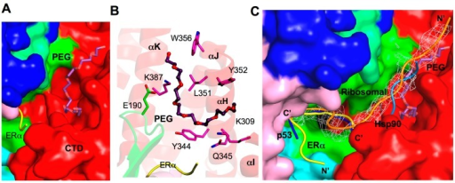 Additional substrate binding site. (A) Surface representation of the PEG binding site in SMYD2. PEG is depicted by sticks with the carbon atoms colored in purple. ERα peptide is displayed as ribbon and colored yellow; (B) Putative PEG interacting residues. SMYD2 residues are colored according to domains. ERα residues are shown in yellow. PEG is represented in the same way as in (A); and (C) Comparison of the binding sites of ERα (yellow), p53 (blue), PEG (purple), Hsp90 (light blue), and a ribosomal peptide (orange). The ribosomal peptide is overlaid with 2Fo−Fc omit map calculated at 2.8 Å and contoured at 1.5σ. The Hsp90 peptide is modeled by superposition of the SMYD2 CTD and Hop1 TPR.