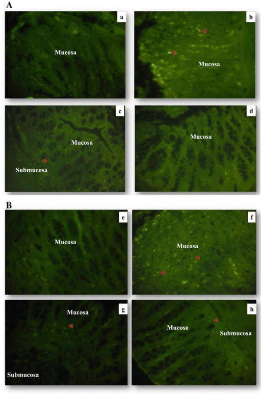 Representative images of immunofluorescence staining. Distal colon tissues from mice were stained with anti-iNOS (a–d) and anti p65 NF-κB subunit (e–h). Colonic tissue stained with anti-iNOS (a) CTRL group, (b) DSS group, (c) LL/DSS group, (d) LL group. Colonic tissue stained with anti-p65 subunit NF-κB (e) CTRL group, (f) DSS group, (g) LL/DSS group, (h) LL group. Red arrow indicates iNOS or NF-κB staining, all magnifications are × 40.