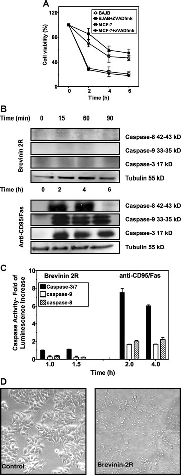 Brevinin kills cancer cells by a mechanism not relying on caspases. (A) BJAB and MCF-7 cells were treated with Brevinin-2R (10 μg/ml) for indicated times. Some samples were cotreated with zVAD-fmk (60 μm) broad spectrum caspase inhibitor. Cell viability was assessed by MTT assay. Data represent average values obtained from three independent experiments. (B) Jurkat cells were treated with Brevinin-2R (10 μg/ml) and with anti-CD95 (0.5 μg/ml) for indicated time periods which were chosen based on the assumption that caspase activation should become detectable about 1–2 hrs prior to morphologic manifestation of cell death. Total cell extracts were harvested, resolved on SDS-PAGE and active subunits of caspase-3, -8 and -9 were detected by Western blot. (C) In an experiment parallel to the one depicted in (B), caspase activity in Jurkat cells was measured by a Caspase-Glo® luminometric assay. The caspase activity is represented as a '-fold increase' as compared to the control. The data represent triplicates of three independent experiments. (D) MCF-7 cells treated with Brevinin-2R for 6 hrs were photographed to indicate the morphology of dying cells.