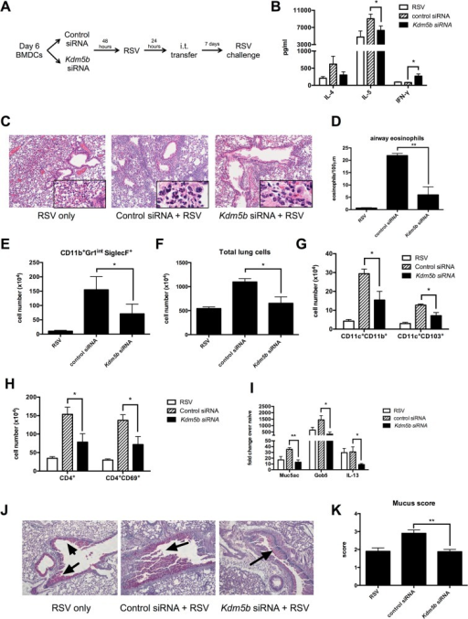 Transfer of RSV-infected Kdm5b-deficient DCs leads to a decreased pathogenic pulmonary RSV challenge.(A) BMDCs were transfected with Kdm5b-specific siRNA or non-targeting control, then infected with RSV overnight. These BMDCs were transferred intratracheally to the lungs of naïve mice 7 days prior to RSV infection. (B) At 8 days post infection, protein levels were measured from MLN cells restimulated with RSV in vitro. (C) Inflammation around the airways was measured by H&E staining in mice primed with BMDCs, including airway eosinophils (inset). (D) Eosinophils were counted in 100μm sections around the airways. (E) Lungs were dispersed into a single cell suspension using collagenase A and DNase. Esoinophils were measured using flow cytometry. (F) Total lung cells were counted following digestion of lung tissue. CD11c+CD11b+ and CD11c+CD103+ DC populations were measured by flow cytometry (G), as well as CD4+ T cells and activated CD4+CD69+ cells (H). (I) RNA was extracted from lung tissue using Trizol reagent, and transcripts of Muc5ac, Gob5 and Il13 were measured by qPCR. (J) Mucus was visualized in the lungs using PAS staining. Arrows indicate mucus production. (K) Identifying numbers on histology slides were blinded and slides were scored on a scale of 1–4 for mucus production. For all data n = 4-5samples/group and data are representative of two independent experiments. *p<0.05, **p<0.01.