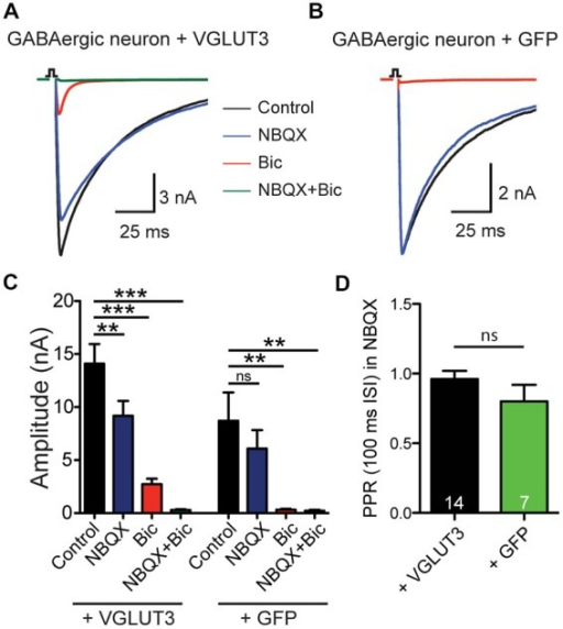 VGLUT3 expression promotes glutamate release in GABAergic neurons. (A) Exemplary traces of current responses to an unclamped AP of a striatal GABAergic neuron exogenously expressing VGLUT3 in control extracellular solution (ECS; black), the AMPA receptor antagonist, NBQX (blue), the GABAA receptor antagonist, bicuculline (Bic; red), or both antagonists combined (green). (B) Example traces in the same conditions as (A) from a striatal GABAergic neuron expressing only GFP. Stimulations are indicated by an open square; stimulation artifacts and action potentials have been blanked for illustrative purposes. (C) Plot of mean amplitudes of evoked response in VGLUT3-expressing cells (left; n = 13) and control cells expressing GFP (right; n = 6) in presence of NBQX, Bic or no drug (control). Significance was assessed by comparing responses in control conditions to each pharmacological treatment using an ANOVA repeated measures with Dunnett's multiple comparison tests. Error bars = SEM. **p ≤ 0.01. ***p ≤ 0.001. (D) Plot of mean paired-pulse ratio (PPR) in the presence of NBQX for expressing VGLUT3 or GFP only. Significance was assessed by Mann-Whitney test. Error bars = SEM.