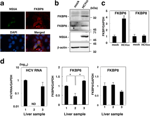 "Effects of HCV replication on FKBP6 expression.(a) The stained cells used in Fig. 2e were observed at 200 times magnification using the fluorescence microscope BZ-9000 (Keyence, Osaka, Japan), which is not a confocal microscope. (b) Naïve and HCVcc-infected Huh7OK1 cells were harvested and then subjected to immunoblotting using antibodies to FKBP6, FKBP8, NS5A, and beta-actin. (c) FKBP6, FKBP8, and GAPDH mRNAs were estimated by qRT-PCR in naïve and HCVcc-infected cells, as described for the cells used in (b). The values obtained for FKBP6 and FKBP8 mRNAs were normalized with that of GAPDH mRNA and are presented as levels relative to the control (mock). Asterisks indicate a significant difference from the control value (*P < 0.05). (d) Human non-cancerous liver tissues (no. 1, 2, and 3) were obtained from three different liver samples of one donor. The HCV RNAs and mRNAs of FKBP6 and FKBP8 were estimated by qRT-PCR, normalized with GAPDH mRNA, and are presented as values relative to tissue no. 1. ND means ""not detected"". The data shown in this figure are representative of three independent experiments."