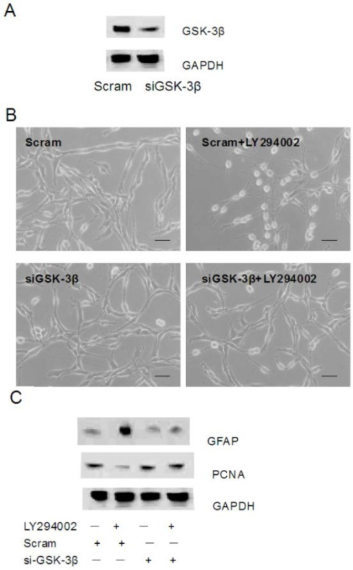 Silencing GSK-3β blocks differentiation induced by LY294002 in C6 cells. (A) Immunoblot of the GSK-3β protein levels after transfection with 10 nM scrambled (Scram) or GSK-3β siRNAs (siGSK-3β) for 36 h. (B-C) Morphology (Scale bar = 50 μM). (B) and immunoblot of the GFAP and PCNA levels (C) in GSK-3β knockdown cells subsequently stimulated with 20 μM LY294002 for 48 h.