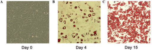 Prior to and following differentiation of human pre-adipocytes. Representative micrograph of human pre-adipocytes on (A) day 0, and oil red O staining of lipid droplets accumulation in differentiated adipocytes on (B) day 4 and (C) day 15.