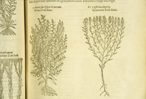 <p>Separate woodcuts of two types of linaria, showing the stalks, leaves, and roots.</p>