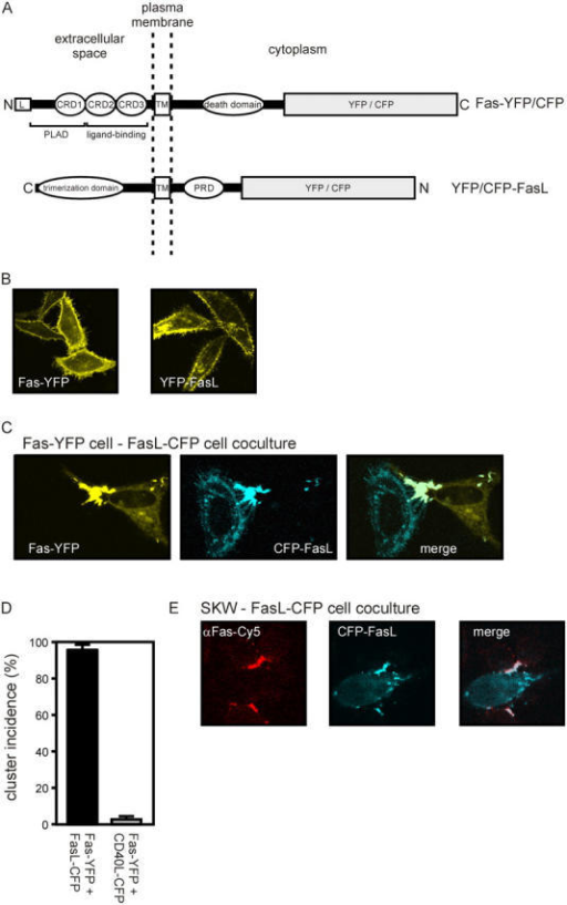 Membrane FasL and Fas form supramolecular clusters. (A) Scheme of YFP and CFP fusion proteins of Fas and FasL. (B) HeLa cells were transfected with expression plasmids encoding YFP-FasL or CFP-FasL and Fas-YFP or with a mixture of the latter two plasmids in the presence of z-VAD-fmk (20 μM). Images shown were taken after 24 h and are representative for each experimental group. (C) HeLa cells transfected with CFP-FasL and Fas-YFP, respectively, were harvested 24 h after transfection, mixed at a 1:1 ratio, and cocultured for additional 24 h. Images shown are representative for neighboring cells expressing CFP-FasL and Fas-YFP, respectively. (D) HeLa cells were separately transfected with plasmids encoding the indicated proteins and cocultured overnight. After 24 h, at least 100 yellow fluorescent cells that neighbored one or more blue fluorescent cells were selected on randomly chosen sections of the slide and analyzed for cluster formation. The portions of cells that displayed ligand receptor clusters were determined. (E) HeLa cells were transfected with CFP-FasL and were cocultured 24 h after transfection with SKW cells in the presence of 20 μM z-VAD-fmk for 3 h. Cells were fixed and stained with anti-Fas and a CY5-labeled secondary antibody.
