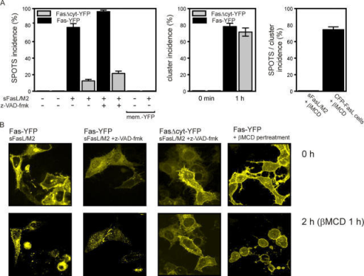 Induction of Fas SPOTS by soluble cross-linked FasL depends on the cytoplasmic domain of Fas and association with lipid rafts. (A, left) HeLa cells were transfected with Fas-YFP, FasΔcyt-YFP, or membrane-YFP and stimulated 18 h after transfection with the indicated combinations of cross-linked soluble Flag-FasL (200 ng/ml) and z-VAD-fmk (20 μM). The proportion of cells that showed SPOTS was determined after 2 h. (Middle) HeLa cells expressing either Fas-YFP (black bars) or FasΔcyt-YFP (gray bars) were cocultured with HEK293 cells, transiently transfected with CFP-FasL. After 1 h of coculture, neighbored blue and yellow fluorescent cells were analyzed and cluster incidence was determined as described in Materials and methods. (Right) HeLa cells expressing Fas-YFP were treated for 20 min with 20 mM βMCD, stimulated for with M2-Flag cross-linked soluble Flag-FasL (200 ng/ml), or cocultured with CFP-FasL expressing HEK293 cells. SPOTS incidence and cluster incidence were determined after 1 h. (B) Microscopic images of cells expressing Fas-YFP or FasΔcyt-YFP before (0 h) and after stimulation with the indicated reagents (2 h). The image showing Flag-FasL/M2 challenged cells was already taken after 1 h.