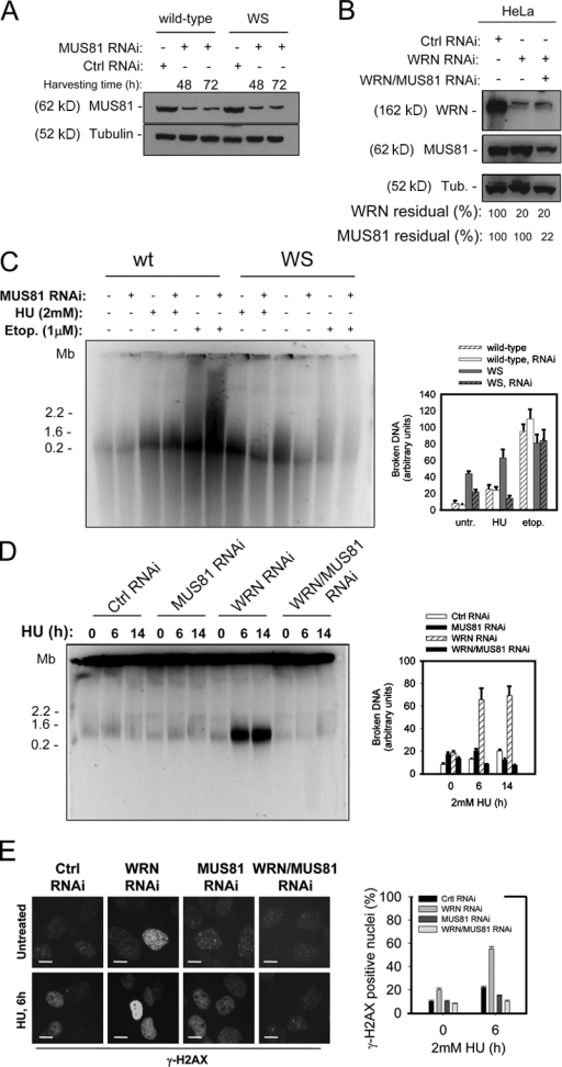 Accumulation of DSBs after replication arrest observed in the absence of WRN depends on the presence of the MUS81 endonuclease. (A) MUS81 down-regulation by transfection of MUS81 siRNAs in wild-type and WS cells. (B) MUS81 and/or WRN down-regulation by transfection of MUS81 and/or WRN siRNAs in HeLa cells was verified by immunoblotting 48 h after transfection. (C) Formation of DSBs in wild-type and WS fibroblasts transfected with MUS81 siRNAs was evaluated by PFGE after 6 h of treatment with 2 mM HU or 1 μM etoposide (Etop.). Data are presented as mean ± SE from three independent experiments. (D) Formation of DSBs in HeLa cells transfected with control (GFP), MUS81, and/or WRN siRNAs and treated with 2 mM HU for the indicated times was evaluated by PFGE. Data are presented as mean ± SE from three independent experiments. (E) Analysis of DSB accumulation by anti–γ-H2AX immunofluorescence in HeLa cells transfected with control (GFP), MUS81, and/or WRN siRNAs and treated with 2 mM HU for 6 h. Representative images are shown. The percentage of γ-H2AX–positive nuclei from three independent experiments is shown. Data are presented as mean ± SE. Bars, 10 μM.
