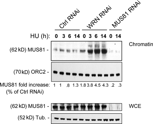 Loss of WRN results in enhanced association of MUS81 with chromatin after replication fork stalling. Levels of chromatin-bound and total MUS81 in HeLa cells transfected with control (GFP), WRN, or MUS81 siRNAs and treated with 2 mM HU for indicated times. ORC2 was used as a loading control. The amount of MUS81 in the chromatin fraction is expressed as the percentage of the amount in the untreated control normalized against the ORC2 content. (bottom) Total content of MUS81 in RNAi-treated HeLa cells was evaluated by Western immunoblotting after treatment with 2 mM HU, as in Fig. 2.