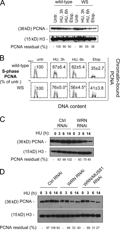 Replication arrest induces dispersal of PCNA from S-phase chromatin in WRN-deficient cells. (A) Levels of chromatin-bound PCNA in wild-type and WS fibroblasts treated with 2 mM HU for the indicated times or with 50 μM etoposide for 6 h (Etop.). H3 histone was used as a loading control. The residual amount of PCNA in the chromatin fraction is expressed as the percentage of the amount in the untreated control normalized against the H3 histone content. (B) Levels of chromatin-bound PCNA in S-phase cells after replication inhibition. Wild-type and WS fibroblasts were exposed to 2 mM HU for the indicated times or to 50 μM etoposide for 6 h (Etop.), before being processed for biparametric PCNA/DNA flow cytometry. Representative cytograms for each condition are presented. The values shown represent the fluorescence intensity of the PCNA staining relative to an S-phase DNA content, expressed as percentage of the untreated control. The gates indicate the area considered for the evaluation of PCNA fluorescence intensity. *, statistically significant compared with the wild type; P < 0.01 (analysis of variance test). (C) Levels of chromatin-bound PCNA in HeLa cells transfected with control (GFP) or WRN siRNAs and treated with 2 mM HU for the indicated times. H3 histone was used as a loading control. The residual amount of PCNA in the chromatin fraction is expressed as the percentage of the amount in the untreated control normalized against the H3 histone content. (D) Levels of chromatin-bound PCNA in HeLa cells transfected with control (GFP), MUS81, and/or WRN siRNAs treated with 2 mM HU for the indicated times. H3 histone was determined as a loading control. RNAi-labeled samples represent cells treated with MUS81 siRNAs; if not otherwise specified, samples were treated with control siRNAs against GFP.