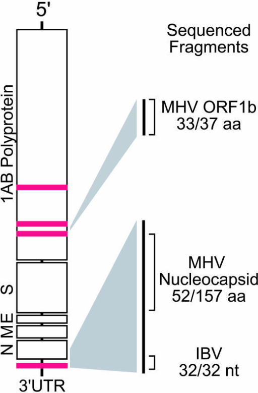 Prototypical Coronavirus Genome StructureRed bars indicate physical location of virus microarray DNA elements mapped to a generic coronavirus genome. Portions of the coronavirus genome sequenced by physical recovery and PCR methods are highlighted with homologies to known coronaviruses. Abbreviations: aa, amino acid; nt, nucleotide