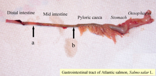 Gastrointestinal tract of Atlantic salmon (≈ 100 grams) showing oesophagus, stomach, pyloric caeca, mid intestine (MI) and distal intestine (DI). A) Arrow showing where the DI samples were taken for gene expression B) Arrow showing where the MI samples were taken for gene expression, immunohistochemistry and in situ hybridization.