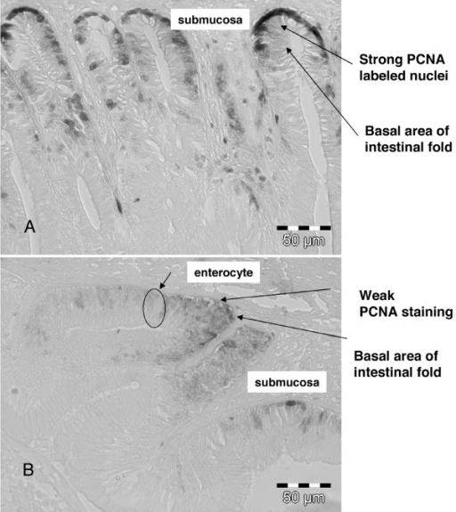 Light photomicrographs of PCNA labelled nuclei in the mid intestine (MI) of Atlantic salmon (A) In the control group, proliferating cells (PCNA) can be seen (strong black nuclear staining) in several cells in the basal area of the intestinal folds (B) In the treated group, proliferating cells (PCNA) can be seen (weak faint nuclear staining) only in a few cells in the basal area of the intestinal fold.