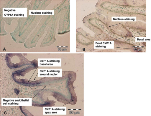 Light photomicrographs of CYP1A mRNA labelled mid intestine (MI) of Atlantic salmon (A) Negative control (sense). No CYP1A staining and only nuclear staining can be seen (B) Control group (antisense). CYP1A staining with faint and low mRNA levels especially in the basal area of the intestinal folds (C) Exposed group (antisense). CYP1A staining with strong and high mRNA levels especially in the basal area and the apex area of the intestinal fold. Inside the cells CYP1A are located at and around the nucleus. In the photographs CYP1A mRNA levels can be seen with a dark colour and all cell nuclei with a green staining. All pictures are stained with the nuclear stain; methyl green.