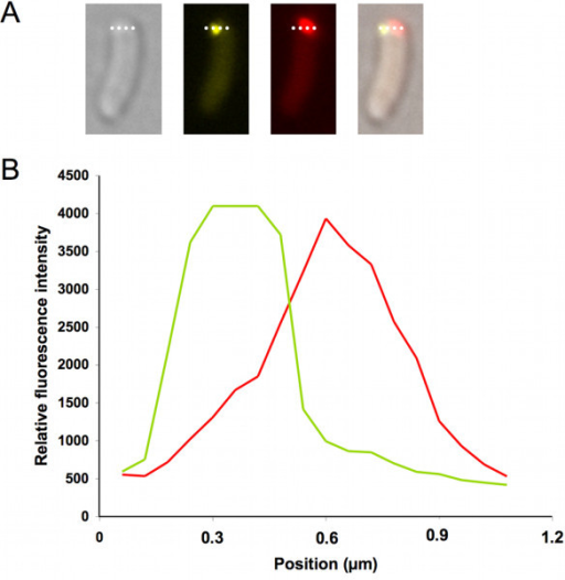 IbpA-YFP and PdhS-mCherry colocalization pattern in stationary culture phase E. coli. A, Partial colocalization of IbpA-YFP and PdhS-mCherry. Relative fluorescent intensity was computed along the dotted white bar. B, Distribution of relative fluorescent signal as shown in A. In green, fluorescent distribution of IbpA-YFP signal. In red, PdhS-mCherry fluorescent signal.