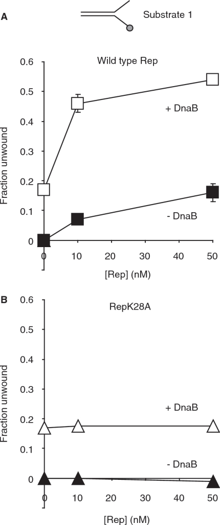 Binding of Rep is not sufficient to enhance DNA unwinding by DnaB. (A) Unwinding of substrate 1 by the indicated concentrations of wild-type Rep in the absence and in the presence of 10 nM DnaB hexamers. (B) Unwinding of substrate 1 by RepK28A without and with 10 nM DnaB hexamers.