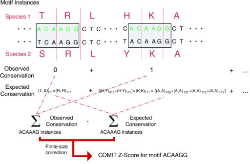 Schematic of the COMIT algorithm for identifying unusually conserved motifs in coding regions. The example illustrates how the score would be calculated for the motif ACAAAG, using genome-wide coding sequence alignments for two species. Each instance of the motif is identified in species 1, and the observed conservation - that is, whether all bases are identical among the two species - is calculated. The expected conservation at each instance is modeled from genome-wide frequencies of nucleotide-level conservation patterns conditional on the aligned amino acids. For each instance, the expected conservation is calculated from all possible ways in which the motif could be conserved at that location given the amino acids in each species, using values from Table 1 (typically some of these quantities, such as (H, Y)111, will be zero). The observed and expected conservation levels are compared and normalized to yield a conservation z-score for each motif.