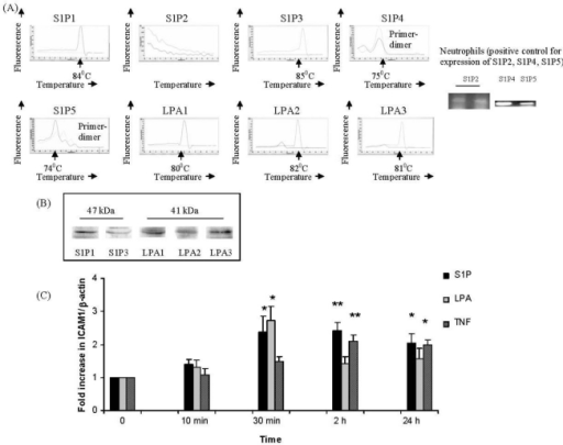 S1P and LPA receptors in IMR-32 cells and S1P- or LPA- induced ICAM-1 transcription. IMR32 cells were plated in 6-well tissue culture dishes in differentiation medium (5 × 105 per well) then harvested for: (A) RNA and cDNA preparation and semi-quantitative or quantitative PCR using primers for (A) S1P1–5 or LPA1–3 or (B) total protein preparation and Western blotting for receptors S1P1, S1P3 or LPA1–3. (C) IMR32 cells in differentiation medium were treated with: S1P (1 μM), LPA (1 μM) or TNF (10 ng/mL) for the indicated times, then harvested for RNA and cDNA preparation and real-time PCR using primers for ICAM-1 or β-actin. Results are expressed as fold increase in ICAM-1/β-actin ratio over non-EPO treated (0) cells (set to unity). Mean ± SEM; * p < 0.05, **p < 0.01, significantly increased versus untreated cells.