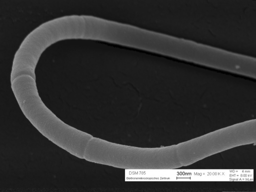 Scanning electron micrograph of a multicellular filament of H. aurantiacus 114-95T.