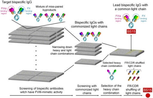 Flow of process to identify the lead bispecific antibody (BS15).BS15 was identified by combinatorial screening of bispecific antibodies, followed by screening of common light chains and then FR/CDR shuffling.