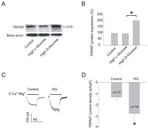 Effect of HG on TRPM7 protein expression in HUVECs.(A) Representative immunoblots showing TRPM7 protein expression in HUVECs with or without HG (30 mM) for 72h. (B) The corresponding bar graphs showing relative expression of TRPM7 protein normalized to beta-actin. (C) Representative TRPM7-like currents recorded in HUVECs cultured in control or HG (30 mM) for 72h. (D) TRPM7-like current density. **p<0.01 vs. HG; *p<0.05 vs. control. n=4 for immunoblotting and 17-18 cells patched for current recording.