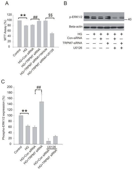 Effect of U0126 on viability and phospho-ERK1/2 expression in HG treated HUVECs.The cells were preincubated with U0126 (10 μM) for 18h, then treated with TRPM7 siRNA for 48h, and finally stimulated with HG for 72h. (A) Cell viability was assessed by MTT assay. (B) Representative immunoblots showing phospho-ERK1/2 expression level. (C) The corresponding bar graphs showing the relative expression of phospho-ERK1/2 protein normalized to beta-actin. **p<0.01 vs. control; ##p<0.01 vs. control siRNA. n=5 for immunoblotting.
