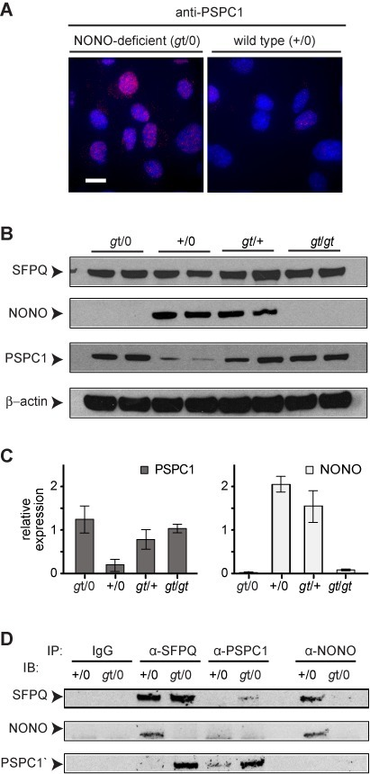 Increased levels of PSPC1 and SFPQ–PSPC1 complex in NONO-deficient cells. (A) Immunostaining of WT-2 and gt-2 MEF isolates using anti-PSPC1 antibody. Scale bar, 10 μm. (B) Immunoblotting to determine levels of SFPQ, NONO and PSPC1 proteins in cells of indicated genotype. Two independent MEF populations, derived from different embryos, were analyzed for each type. Arrowheads denote proteins as indicated. (C) Quantification of data from panel (B). Values are normalized to β-actin. Error bars reflect standard deviation of values from independent MEF populations. (D) Immunoprecipitation (IP), followed by immunoblotting (IB), to protein–protein complexes in MEFs of indicated genotypes.