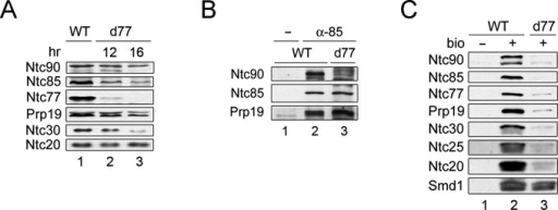 Ntc77 is required for the integrity of NTC and for its binding to the spliceosome. (A) Western blotting of total proteins of extracts prepared from wild-type (lane 1) or Ntc77 metabolically depleted cells after incubation in the glucose-based media for 12 (lane 2) or 16 h (lane 3). (B) Extracts prepared from wild-type (lanes 1 and 2) or Ntc77-depleted cells (16 h in glucose) (lane 3) were immunoprecipitated with no antibody (lane 1) or anti-Ntc85 antibody (lanes 2 and 3), and probed with antibodies against Ntc90, Ntc85 or Prp19. (C) Splicing reactions were carried out in wild-type (lanes 1 and 2) or Ntc77-depleted (12 h in glucose) (lane 3) extracts using non-biotinylated (lane 1) or biotinylated (lanes 2 and 3) ACAC pre-mRNA, and the spliceosomes were pulled down with streptavidin Sepharose. WT, wild-type; d77, Ntc77-depleted extracts.