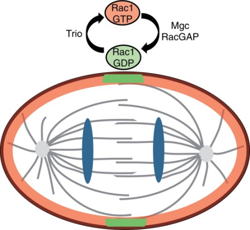 Model for Trio function in dividing cells. Trio functions as a GEF of Rac1 in dividing cells to control F-actin remodeling at the cell cortex. MgcRacGAP therefore counteracts the action of Trio by locally and temporally inhibiting Rac1 activation at the division plane, subsequently ensuring accurate cytokinesis.