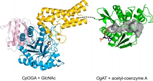 Crystal structures of CpOGA and OgAT serve as models for the human enzyme. Structures are shown in ribbon representation, with colors as described for Fig. 1. GlcNAc in the active site of CpOGA and acetyl-CoA in the active site of OgAT are shown as sticks with black carbons. The internal surface of the tunnel-like structure in OgAT (gray surface) may form the binding site for an as yet unidentified ligand.