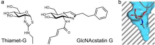 The chemical structures of OGA inhibitors are shown in a. Thiamet-G is a representative of the thiazoline compounds, which are stable mimics of the reaction intermediate. GlcNAcstatin G is the most selective member of the GlcNAcstatin family of inhibitors. In both compounds, selectivity has been engineered by elongating the C2 substituent to exploit the depth of the substrate-binding pocket visible in b, which shows a cross-section of the active site. GlcNAc is shown in stick representation; the enzyme surface is shown in blue.